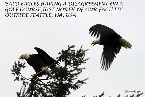 Bald Eagles Fighting on golf course in Everett, WA